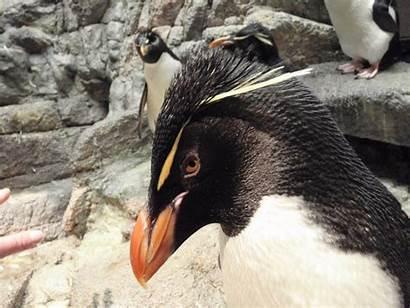 Southern Penguin Northern Rockhopper Rockhoppers Penguins Eastern