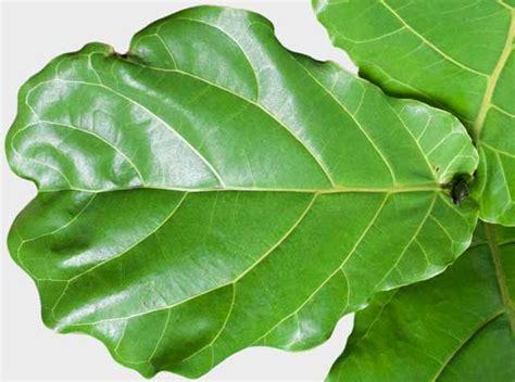 Fiddle Leaf Care