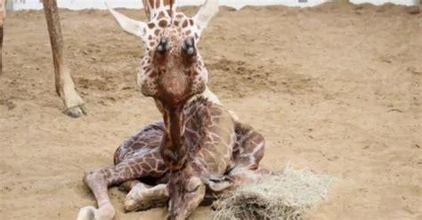 baby giraffe born  dallas zoo  cbs news