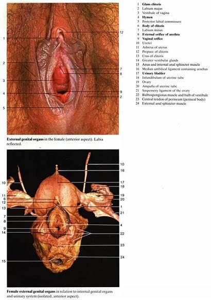 Anatomy Female Human Drawing Reproductive System Koibana