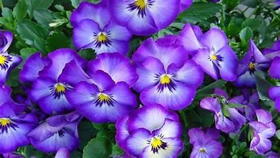 Desktop Flowers Pansies 1920 1200 Wallpapers13 Wallpapersafari