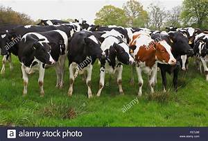 Red Holstein Dairy Cows | www.imgkid.com - The Image Kid ...