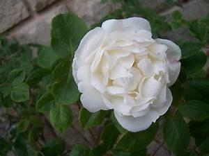 Fleur Rose Et Blanche : noms de roses blanches collegecalvet66 ~ Dallasstarsshop.com Idées de Décoration