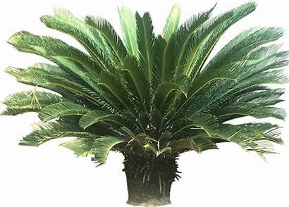 Plants Tropical Palm Cycad Sago Plant Clipart