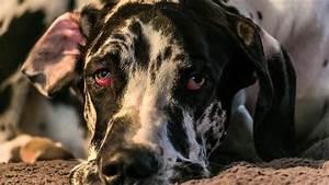 Hund Würmer Hausmittel : bindehautentz ndung beim hund konjunktivitis ~ Frokenaadalensverden.com Haus und Dekorationen
