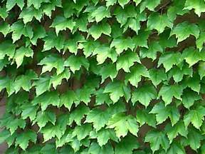 Boston Ivy Vines