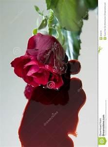 Bleeding Rose Royalty Free Stock Images - Image: 494279