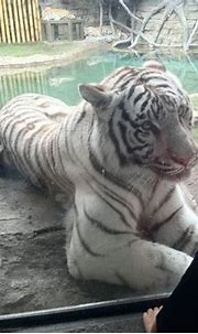 A very angry white tiger at Busch Gardens Tampa, Fl. : pics