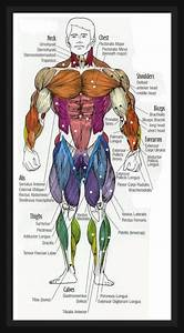 Fat Loss  Building Muscle  U0026 Staying Fit  Human Anatomy Diagram