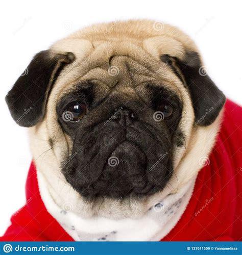 cute sitting pug dog   red  year dress   sad eyes stock image image