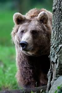 Brown Bear Animal Totem