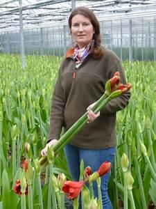 Amaryllis Zum Blühen Bringen : amaryllis braucht drei jahre pflege bis zur ersten bl te ~ Lizthompson.info Haus und Dekorationen