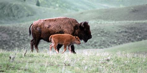 Bison | Basic Facts About Bison | Defenders of Wildlife