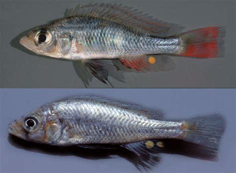 fish species  lake victoria named  honor