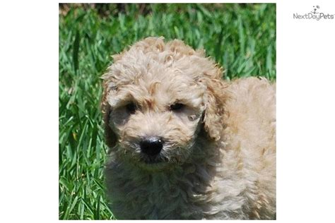 goldendoodle puppy for sale near west palm beach florida