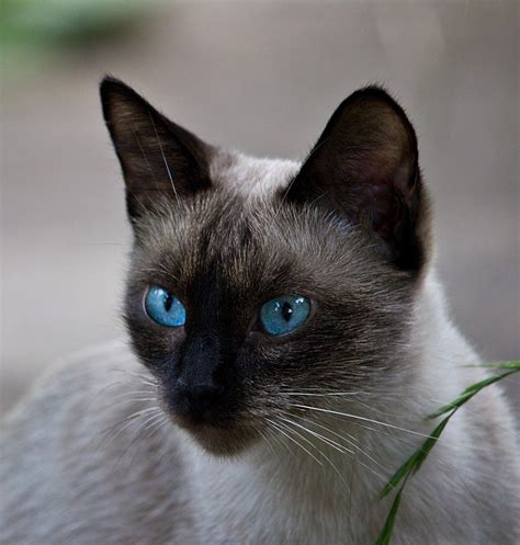Siamese Cats A Complete Guide  The Happy Cat Site