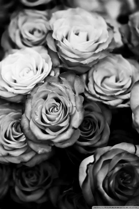roses black  white  hd desktop wallpaper   ultra