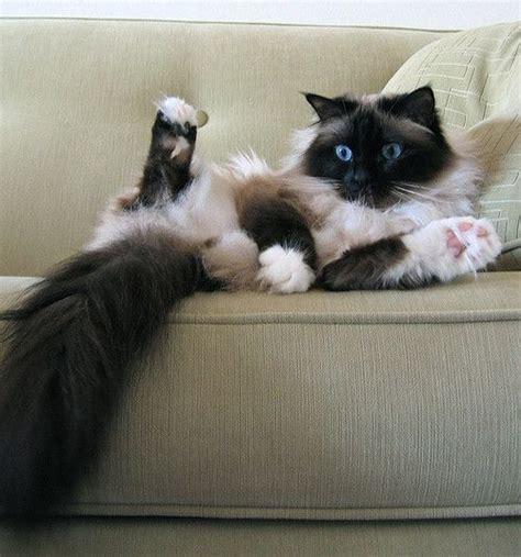 Die Besten 25+ Burmesische Katze Ideen Auf Pinterest