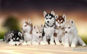Baby Husky Wallpaper Hd Photography Dogs Puppies - Litle Pups
