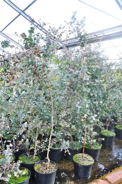 Eukalyptus Garten Pflanzen by Eukalyptus Pflanze Winterhart Winterharter Eukalyptus 39