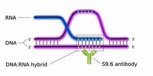 File R Loop S9 6 Mab Svg