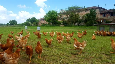 Allevamento Galline Ovaiole In Gabbia - gerre sole allevamento galline ovaiole razza eureka