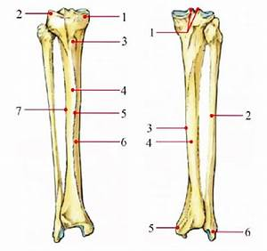 Right Tibia And Fibula  A  Anterior View  1  Medial