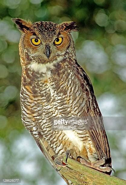 great horned owl stock photos and pictures getty images
