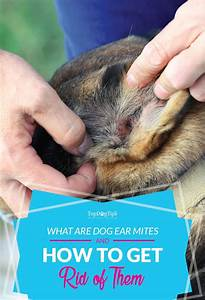 Home Remedies For Ear Mites In Dogs. Home Remedies For Ear ...