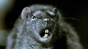 Wie Vertreibt Man Ratten : ratten sie sind berall film 2002 trailer kritik ~ Eleganceandgraceweddings.com Haus und Dekorationen