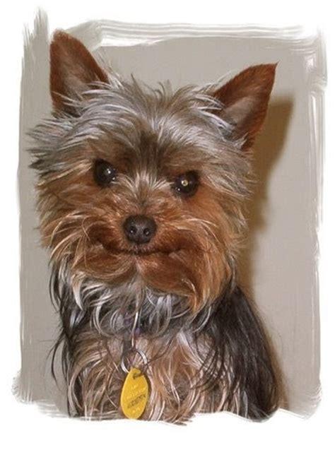 Miniature  Ee  Yorkshire Terrier Ee    Ee  Yorkie Rescue Ee