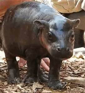 Baby hippo wiggling its happy little hippo ears. [gif]