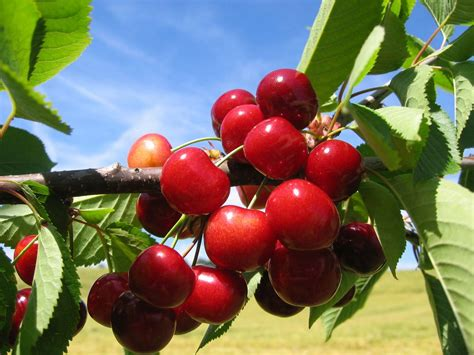 Cherries  Agricultural Marketing Resource Center