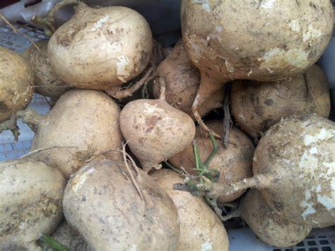 white sweet potato white sweet potato in the basket free stock photo public domain pictures