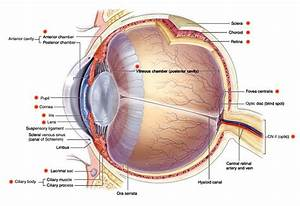 Intraocular Structures Of The Eye