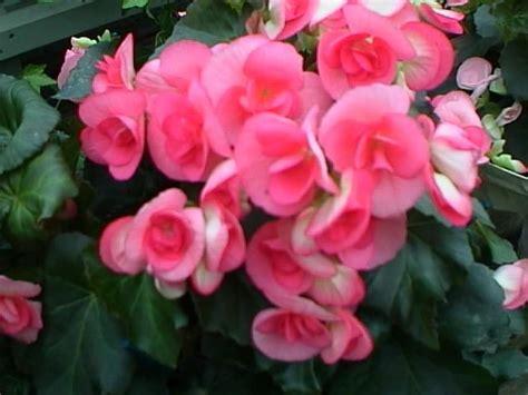 begonia flower post title