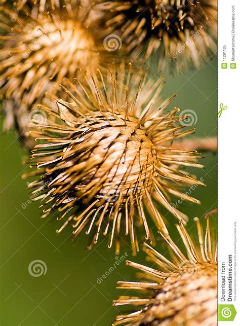 burr weed stock image image  spike serene color