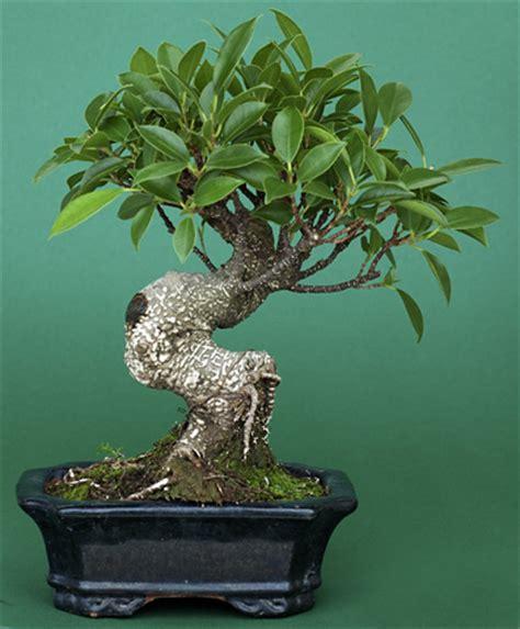 bonsai arten indoor die 5 besten indoor bonsai f 252 r einsteiger
