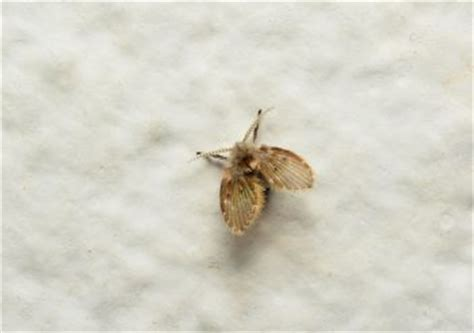 bathroom gnats   drain flies colonial pest control