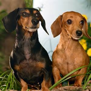 Small Dog Breeds Dachshund