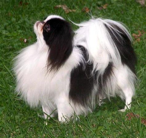 japanse spaniel  chin hond te koophond te koop