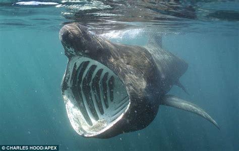 Great White Shark Smile