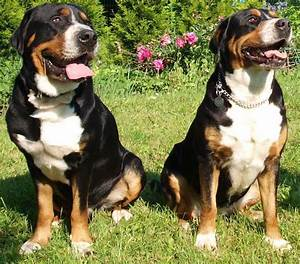 Swiss Mountain Dog Size Related Keywords - Swiss Mountain ...