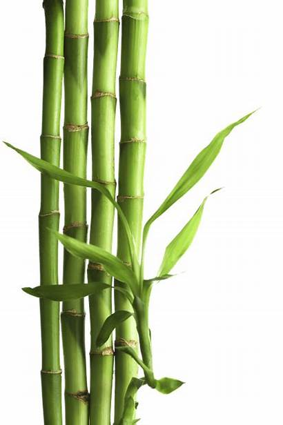 Bamboo Transparent Background Pngimg Nature Freeiconspng Pluspng