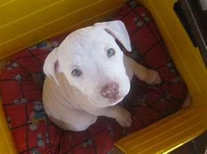 White pitbull with red nose - Imagui