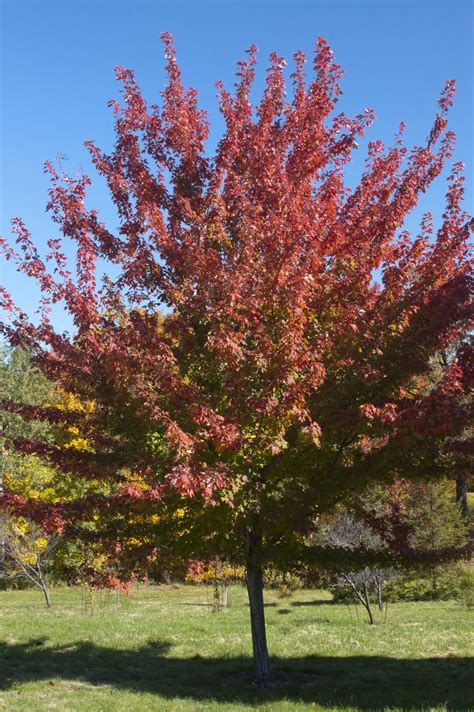 Firefall Maple  Plant Library  Pahl's Market Apple