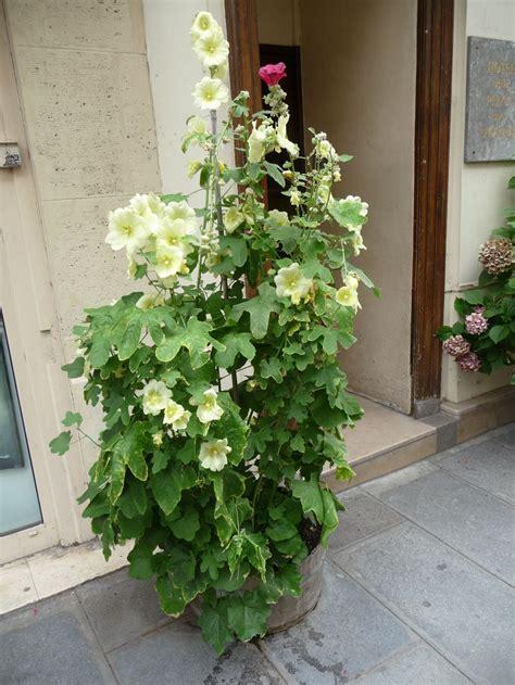tremiere en pot les roses tr 233 mi 232 res poussent en bac c 244 t 233 jardin