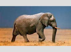 El elefante, el animal salvaje más completo