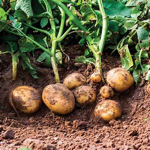 Patate Douce Plante : pomme de terre fiches de plante jardinage et ext rieur ~ Dode.kayakingforconservation.com Idées de Décoration