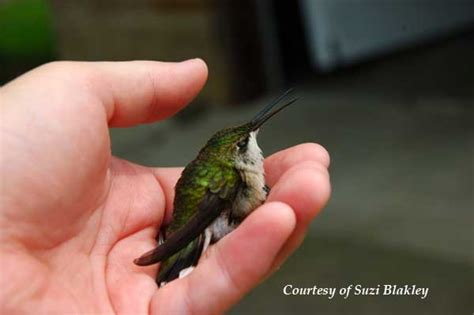 hummingbird rescue care and first aid autos post